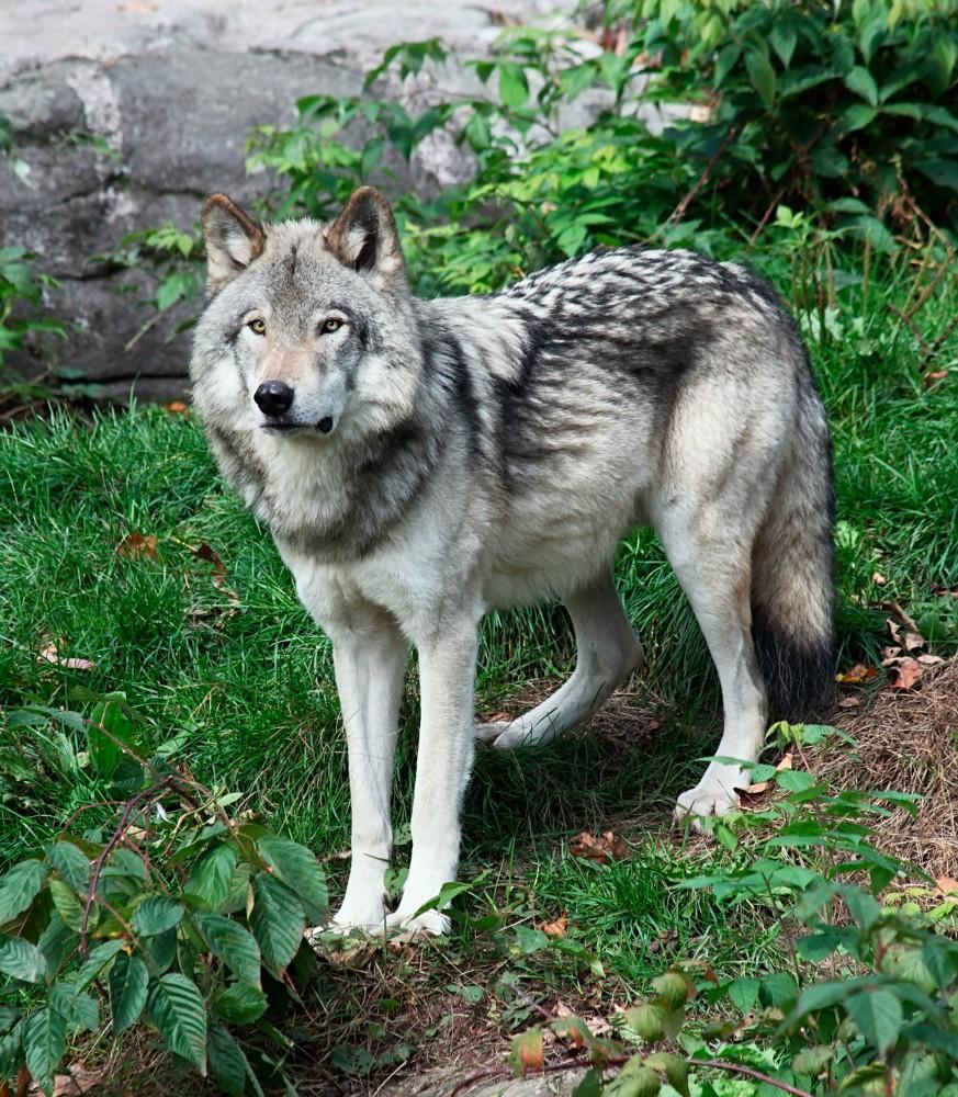 Wolf Dog Sanctuary